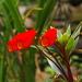 Seemannia sylvatica - Photo (c) Michele Roman, todos los derechos reservados