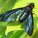 Cyananthrax cyanopterus - Photo (c) Roberto Arreola Alemón, todos los derechos reservados