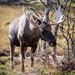 Moose - Photo (c) Aslak Tronrud, all rights reserved, uploaded by aslakt