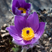 Pasqueflowers - Photo (c) Aslak Tronrud, all rights reserved, uploaded by aslakt
