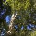Platanus acerifolia - Photo (c) Michał Bogdziewicz, כל הזכויות שמורות
