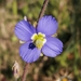 Heliophila africana - Photo (c) Glynn Alard, todos los derechos reservados