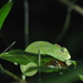 Mulanje Chameleon - Photo (c) matthhias, all rights reserved