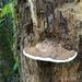 Ganoderma applanatum - Photo (c) Stephany Gale, todos los derechos reservados
