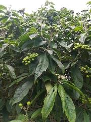 Image of Solanum umbellatum