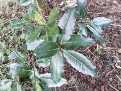 Image of Ficus crocata