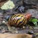 Achatinidae - Photo (c) kristian, todos los derechos reservados