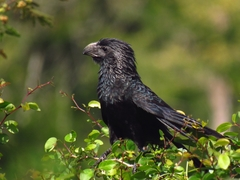 Groove-billed Ani - Photo (c) Jonathan de Jesús Cruz Tamayo, all rights reserved