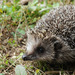 Amur Hedgehog - Photo (c) pintail, all rights reserved, uploaded by Kim, Hyun-tae