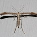Morning-glory Plume Moth - Photo (c) Marcello Consolo, all rights reserved