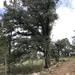 Encino Laurelillo - Photo (c) kenialolo, todos los derechos reservados