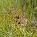Juncus nodosus - Photo (c) Alex Graeff, todos los derechos reservados