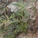 Euphorbia exstipulata - Photo (c) Layla, todos los derechos reservados, uploaded by Layla Dishman