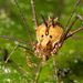 Harvestmen - Photo (c) Jen Cross, all rights reserved