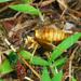 Black Shield Wasp - Photo (c) Christophe Barthélémy, all rights reserved