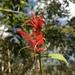 Lepidagathis floribunda - Photo (c) Ana Lira, todos los derechos reservados