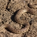 Desert Sand Boa - Photo (c) Rémi Bigonneau, all rights reserved