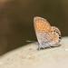 Brephidium exilis exilis - Photo (c) Lee Hoy, todos os direitos reservados