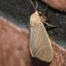 Euchaetes antica - Photo (c) Lee Hoy, todos los derechos reservados