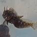 Hypsoblennius hentz - Photo (c) Ashley Rodeheaver, כל הזכויות שמורות