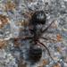 Hercules Ant - Photo (c) Owen Ridgen, all rights reserved