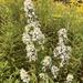 Symphyotrichum urophyllum - Photo (c) sjrobbins, kaikki oikeudet pidätetään