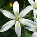 Common Star-of-Bethlehem - Photo (c) Samanta Conte, all rights reserved