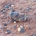 Buforaniina - Photo (c) lindseyg, todos los derechos reservados
