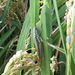 Rice Grasshoppers - Photo (c) 배윤혁, all rights reserved