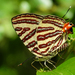 Cigaritis lohita - Photo (c) arajush_payra, todos los derechos reservados