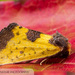 Yellow Sunflower Moth - Photo (c) John and Kendra Abbott, all rights reserved, uploaded by John Abbott