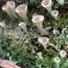 Cladonia chlorophaea - Photo (c) Daniel Kelly, todos los derechos reservados