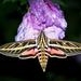Bombycoidea - Photo (c) Laura Habel, כל הזכויות שמורות
