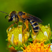 Poey's Furrow Bee - Photo (c) Bufface, all rights reserved