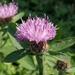 Centaurea nigrescens transalpina - Photo (c) Paolo Bertinetto, todos los derechos reservados