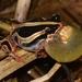 Hyperoliidae - Photo (c) Warren McCleland, όλα τα δικαιώματα διατηρούνται