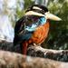Cucaburra Ventrirrufa - Photo (c) Thomas A. Driscoll, todos los derechos reservados