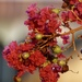 Crape-Myrtle - Photo (c) dendrocygna, all rights reserved