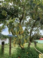 Acnistus arborescens image