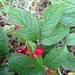 Cotoneaster rehderi - Photo (c) Jenny, todos los derechos reservados