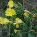 Welsh Evening-Primrose - Photo (c) Tig, all rights reserved