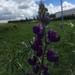 Lupinus bogotensis - Photo (c) Ronald Marentes, todos los derechos reservados