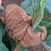 Disholcaspis spongiosa - Photo (c) Eric Knight, todos los derechos reservados