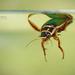 Gran Escarabajo Buceador - Photo (c) Matthieu Berroneau, todos los derechos reservados