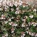 Linnaea × grandiflora - Photo (c) 顧建業, todos os direitos reservados