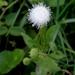 Trichocoronis wrightii - Photo (c) Lex García, όλα τα δικαιώματα διατηρούνται