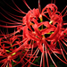 Red Spider Lily - Photo (c) Y.K.Tarabagani, some rights reserved (CC BY-SA)