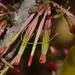 Oncocalyx bolusii - Photo (c) Warren McCleland, todos los derechos reservados