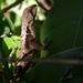 Stenocercus caducus - Photo (c) Danilo Salas, todos los derechos reservados
