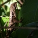 Brown Leaf Lizard - Photo (c) Danilo Salas, all rights reserved